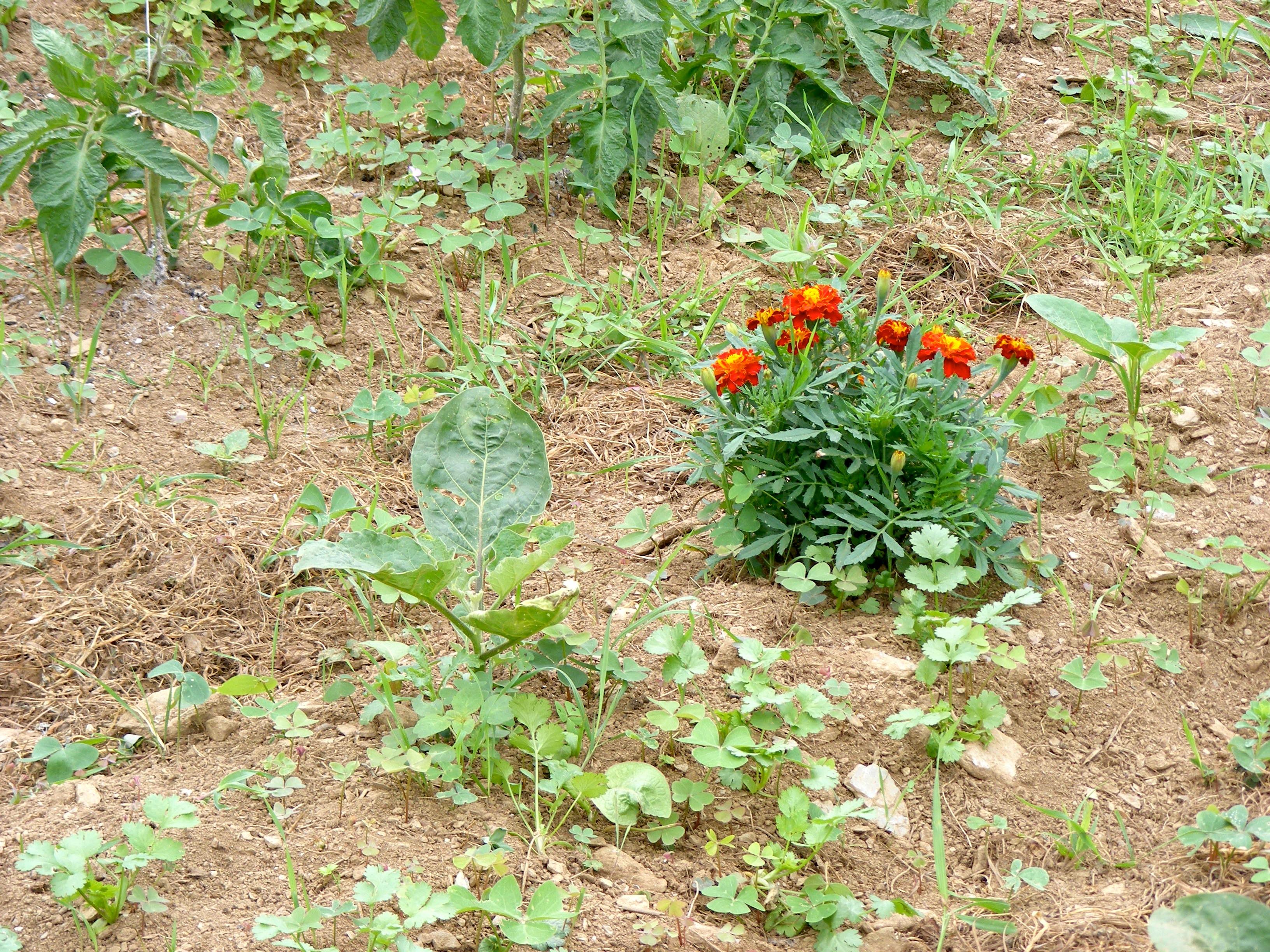 Asociaci n de cultivos en el huerto el blog de amparo for Asociacion de hortalizas